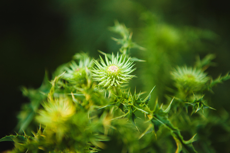 Macro image of green undisclosed thistle. Weed plant, close-up image.