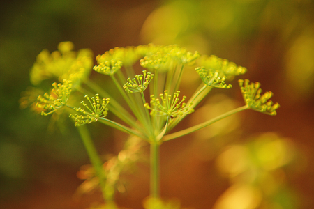 Macro photo of seeds growing dill in the greenhouse. Stock fotó