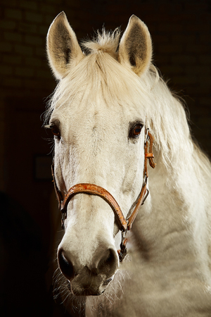 Close up portrait of white horse looking at camera on black background.