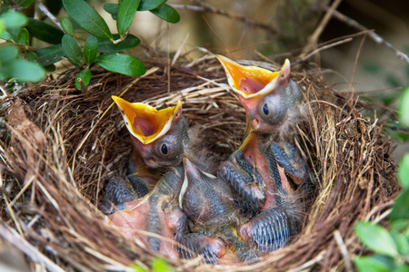 hatched: Sparrow chicks waiting on nest to be fed