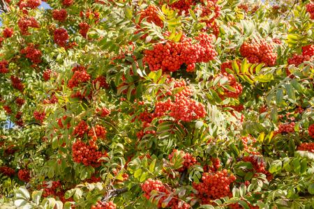 bunchy: the beautiful red rowan