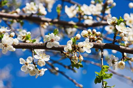 blossom: cherry blossom spring Stock Photo
