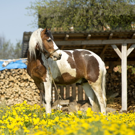 roaming: Beautiful driving horse on a meadow on roaming Stock Photo