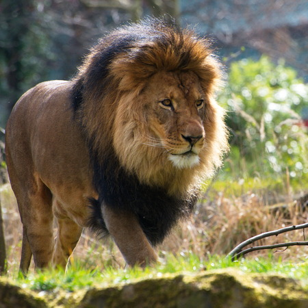 majestic: lionClose-up of big male African lion on black background Stock Photo
