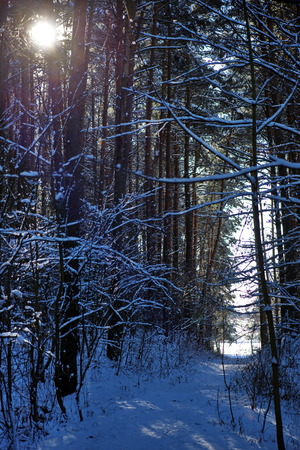 winter forest in a sunny day