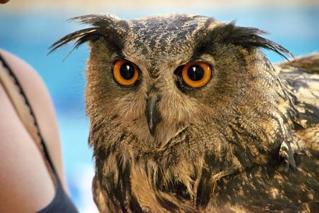 The evil eyes. ( Eagle Owl, Bubo bubo) Stock Photo