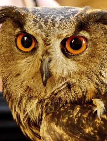 a nocturne: The evil eyes. ( Eagle Owl, Bubo bubo) Stock Photo