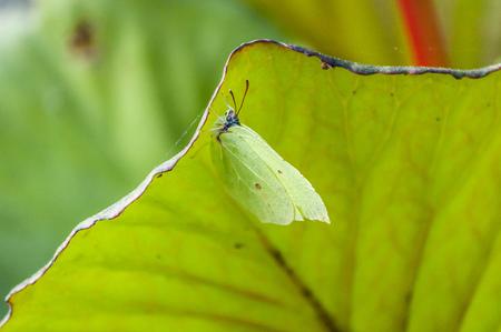 Common brimstone on a leaf