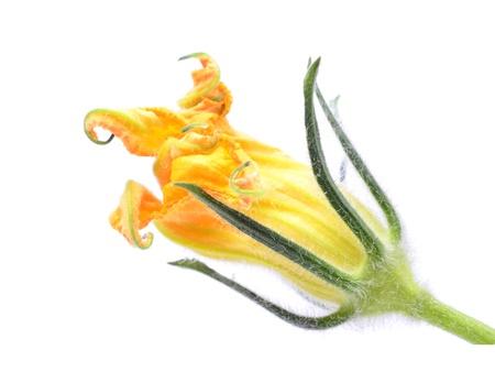 Fresh flower zucchini on white isolated background