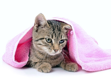 Kitten bathing with a towel, close up, isolated white background