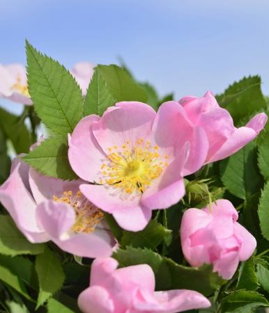 Hagebutten Blume, grünen Hintergrund und blauer Himmel. Standard-Bild