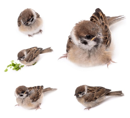 Some homework sparrow isolated white background