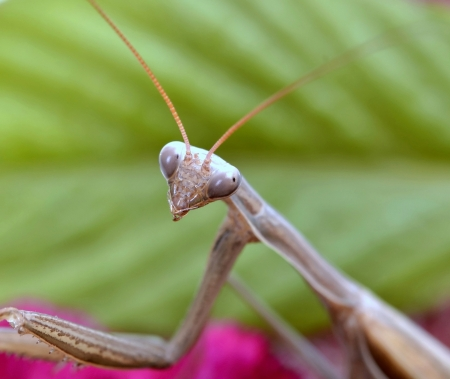 insect praying mantis on flower photo