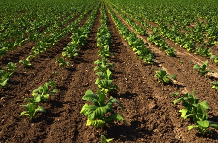 Lines of green tobacco plants on a field  Stock Photo