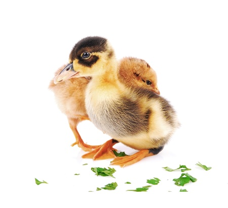 Chicks and a little duck, two side by side, isolated white background   photo