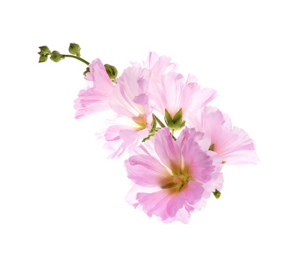 Beautiful decorating hollyhock flowers  Althaea officinalis isolate d white background  Stock Photo