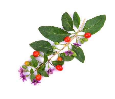 fresh color and green leaves Tibetan Goji berries fruit