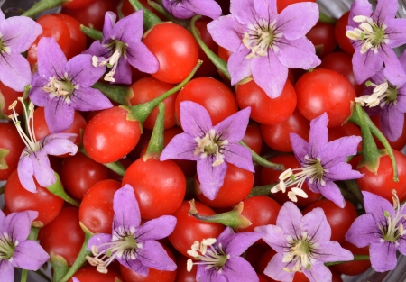 fresh color Tibetan Goji berries