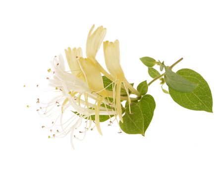 Sprig of honeysuckle with white flowers and green leaves isolated on white background