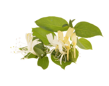 honeysuckle: Sprig of honeysuckle with white flowers and green leaves isolated on white background