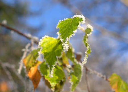 hoar-frost on plants in winter , against blue sky ,close-up  photo