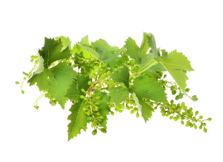 unripened: vine leaves and unripened wild grapes isolated white