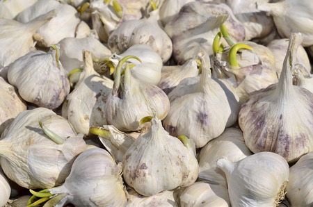 Close-up of a multitude of sprouting garlic photo
