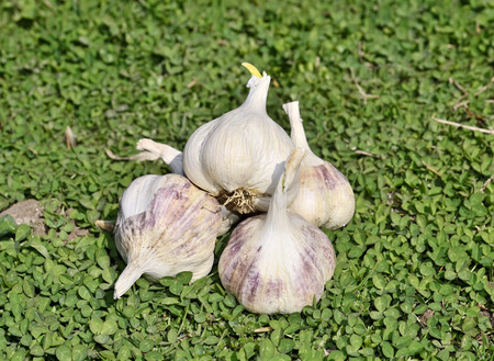 Group of sprouting garlic green grass photo