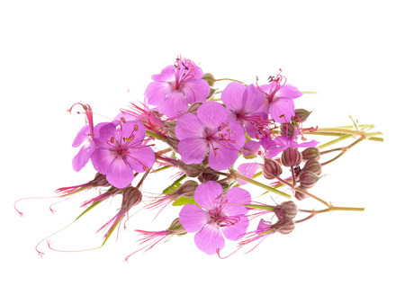 geranium macrorrhizum blossoms ,isolated white background photo