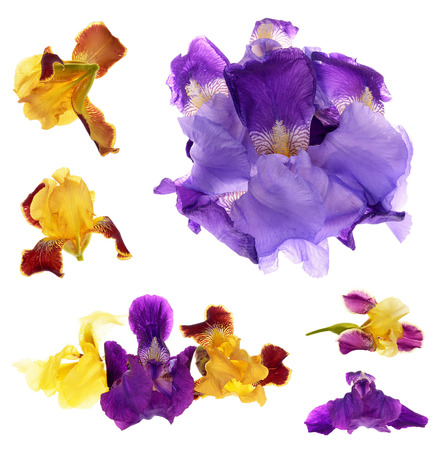 Close-up of  purple and yellow  iris (Iris germanica) isolated against a white background  Stock Photo