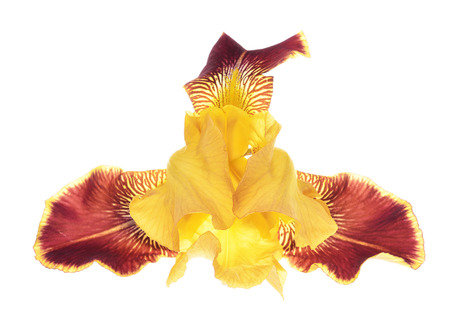Close-up of yellow iris  Iris germanica  isolated against a white background  Stock Photo