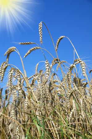 wheatfield:  wheatfield in the background blue sky Stock Photo