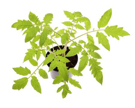 tomato seedlings isolated on white background  photo