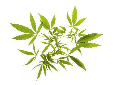 hoja marihuana: Cáñamo silvestre en peligro aislado en fondo blanco Foto de archivo
