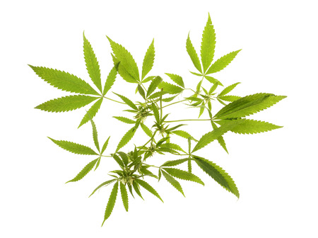 medicinal leaf: Compromised wild hemp isolated on white background