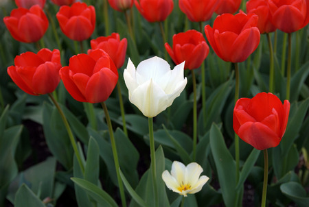 One white tulip in a sea of red tulips