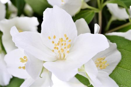 Studio Shot of jasmin branch with flowers Philadelphus  coronarius ,Isolated white background