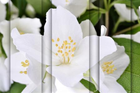 philadelphus: jasmin branch with flowers Philadelphus  coronarius,version Stock Photo