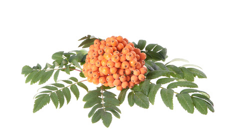 aucuparia: Rowan (Sorbus aucuparia) berries and leaves on white background Stock Photo