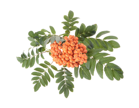 sorbus aucuparia: Rowan (Sorbus aucuparia) berries and leaves on white background Stock Photo