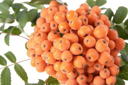 sorbus: Rowan (Sorbus aucuparia) berries and leaves close-up