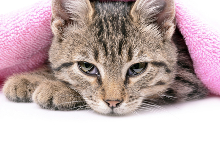 red bathrobe: Kitten bathing with a towel, close up, isolated white background