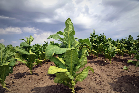 Tobacco plant in the field ,dramatic sky Stock Photo