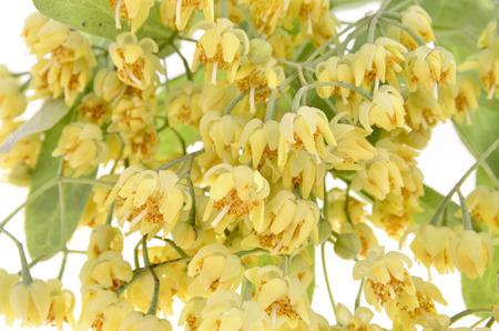 linden blossom: Close- up fresh linden blossom on white background