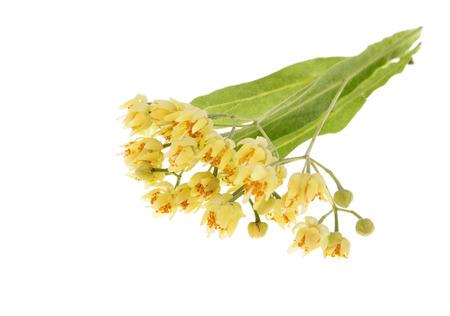 linden blossom: Fresh Linden blossom , isolated on white background Stock Photo