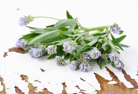 fenugreek: Sprig of fresh fenugreek (Trigonella foenum-graecum) on an old wooden table Stock Photo