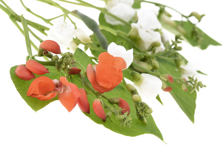 runner bean: Runner bean flowers and foliage isolated on a white background