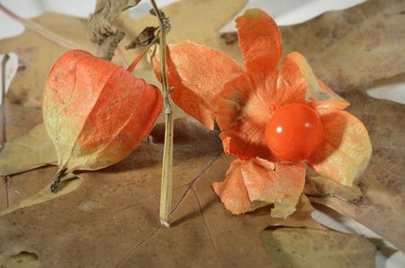 Physalis red fruit on oak leaf