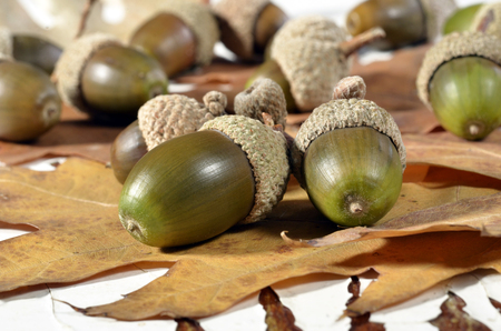 Oak acorns with autumn leaves on an old table