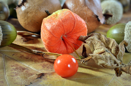 Physalis red fruit, oak galls acorns on oak leaf Stock Photo